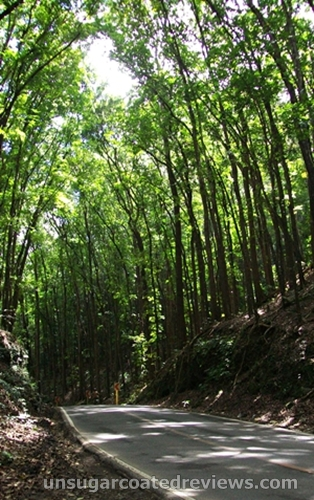 Manmade Forest in Bohol, Philippines