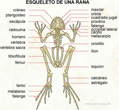 Info animales: ANATOMÍA DE LOS ANFIBIOS