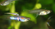 Hybrids between Tobago Speyside Wildtype Guppys and Snakeskin Topsword .