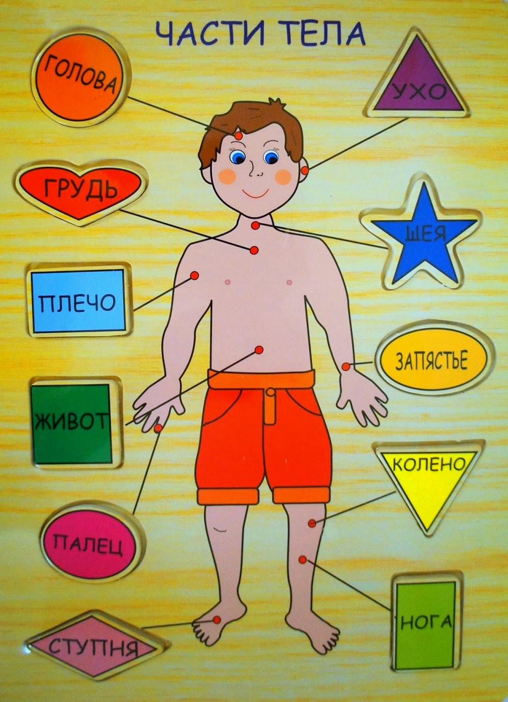 Дать детям представления о строении собственного тела, расширять представления о своем организме, о его строении.