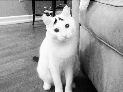 Foto samhaseyebrows, kucing yang memiliki alis 02
