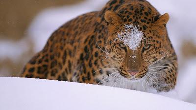A rare amur leopard peers over a snowy embankment (© John Conrad/Corbis) 403