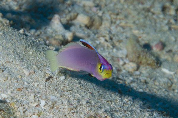 The elusive Helfrichs dartfish (Photo: Mark Rosenstein)