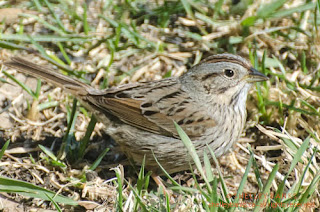 Lincoln's Sparrow. Photo © Shelley Banks, all rights reserved.