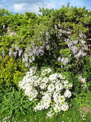 Purple wisteria and white flowered shrub