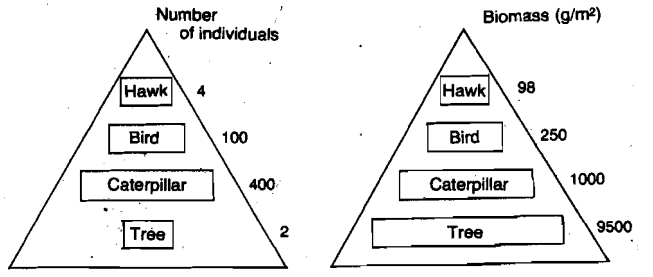 Why Can We Draw Food Chains As Pyramids