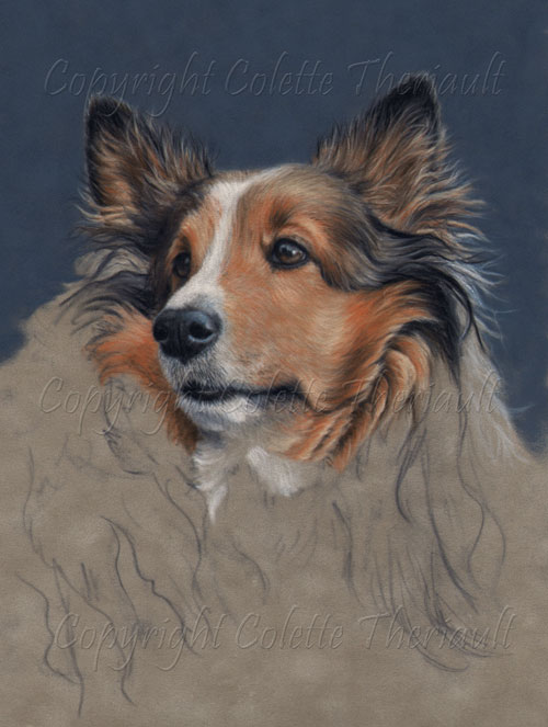 Painting Progress of Shetland Sheepdog Portrait in pastel by Colette Theriault