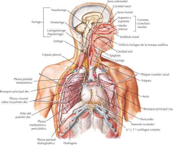 Sistema respiratorio: organización | Netter Blog