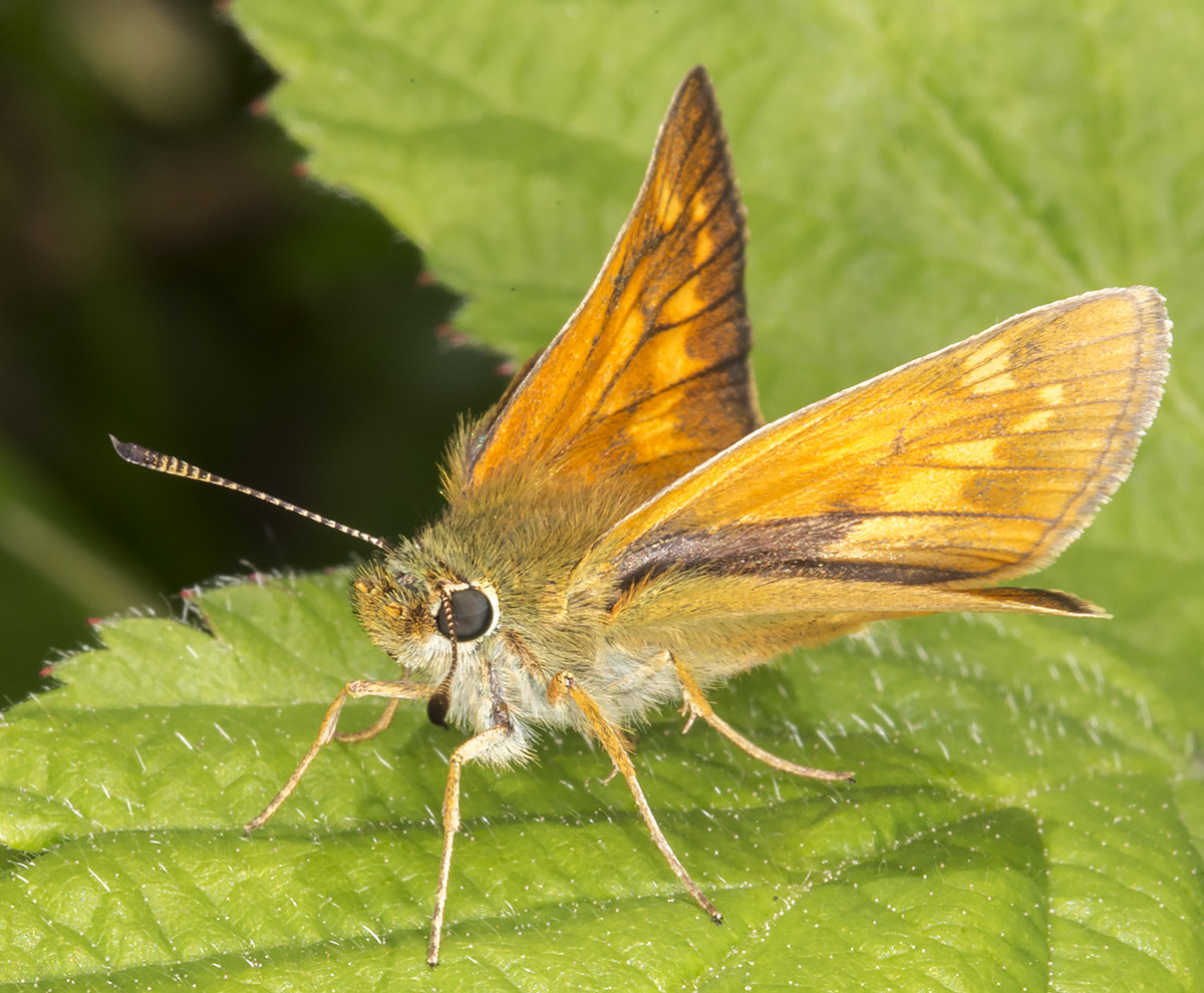 Large Skipper, Ochlodes sylvanus.  Hesperiidae.  High Elms Country Park, 10 June 2014.