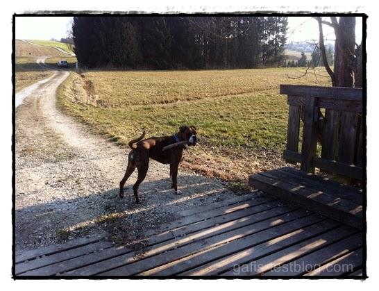 Boxer Amy an der Brücke