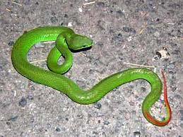 Green Pit Viper -- Ulat Bankai Laut or Ular Hijau Ekor