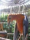 burung anis