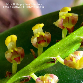 Bulbophyllum falcatum  do blogdabeteorquideas