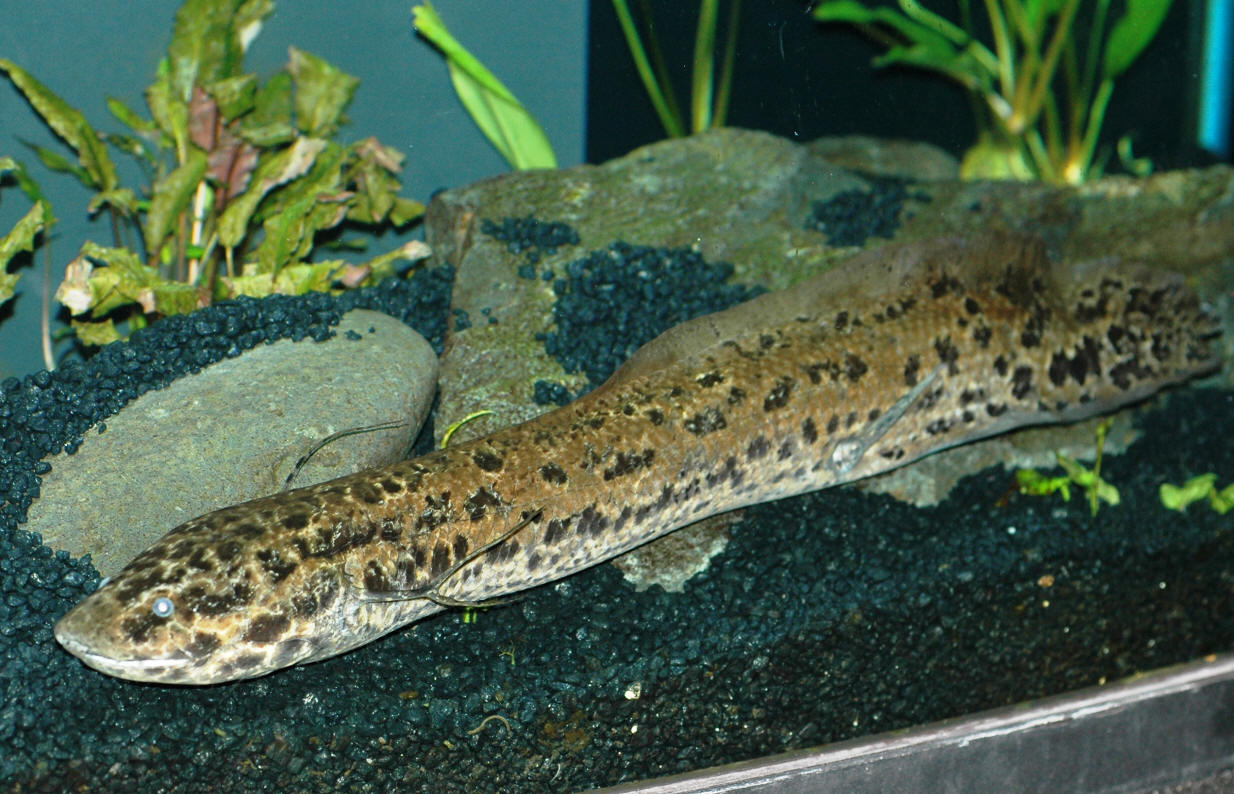 Animal 4You: A Desert Fish Called Lungfish