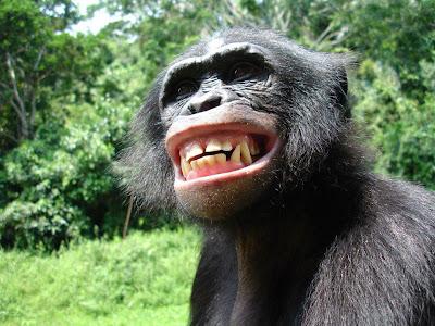 Chimpancé sonriendo