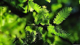 Green Leaves desktop background pictures