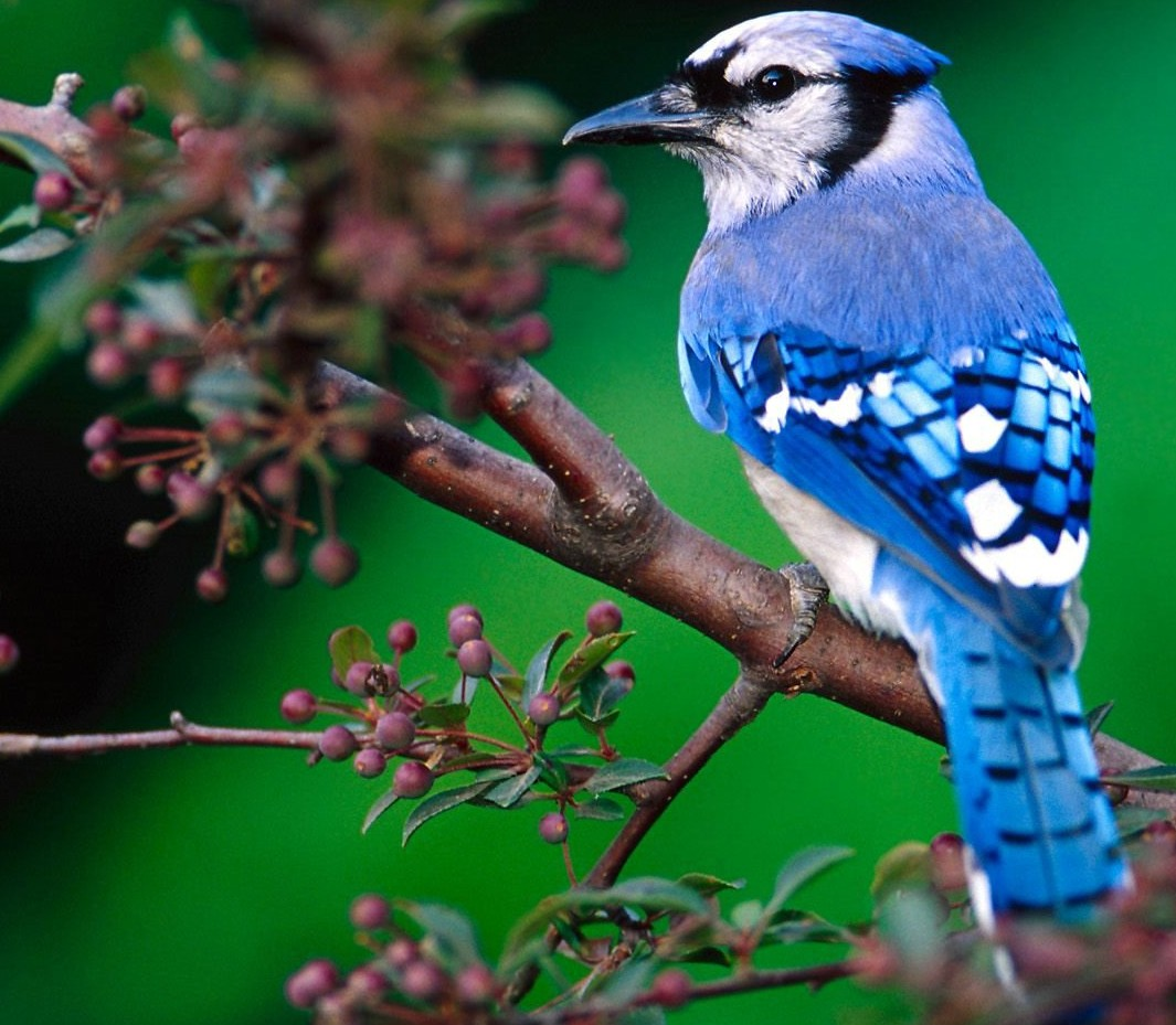 Blue Jaybird - Beautiful Birds Picture