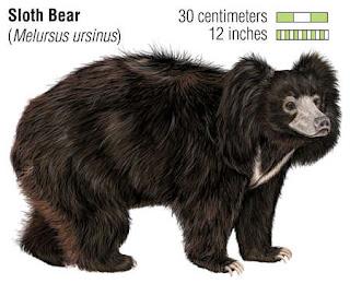 ursidae oso perezoso Melursus ursinus