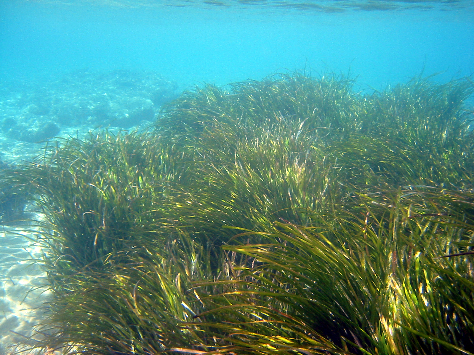Seagrass beds animals - Blue Carbon Photos Life In The Seagrass