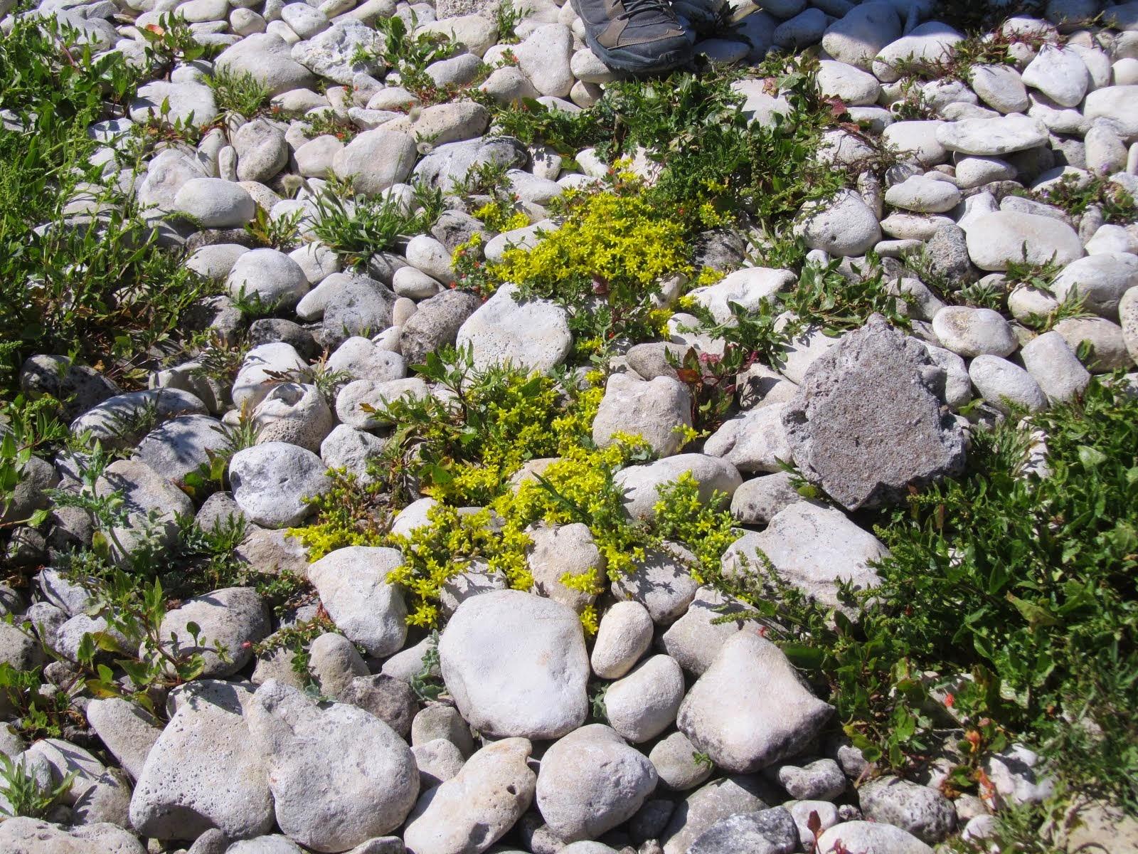 Sédum en fleurs