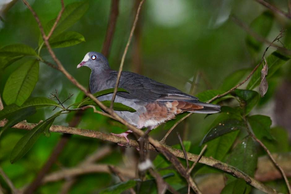 Grey headed quail dove
