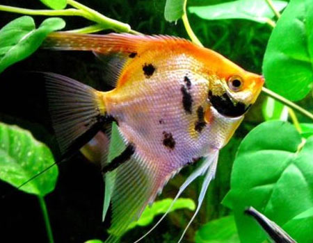 Peces tropicales for Artemia para peces