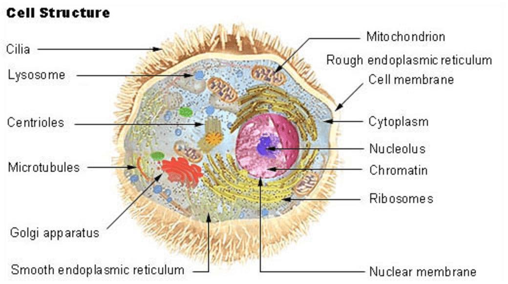 Citología, partes de la célula humana