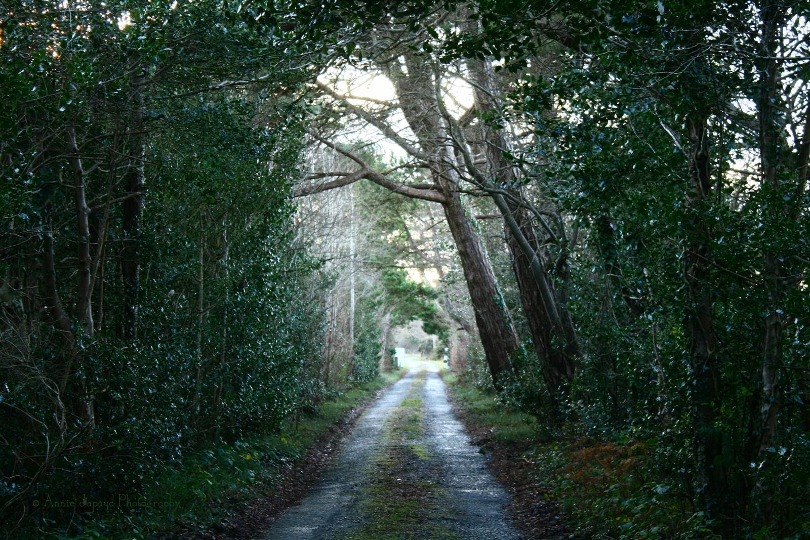 image of a road surrounded by pine trees