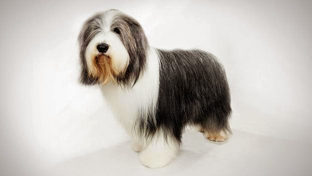 Cute Bearded Collie Guide Puppy