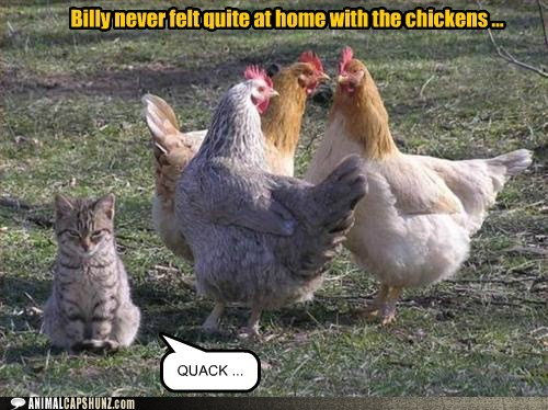 funny-animal-captions-billy-never-felt-quite-at-home-with-the-chickens.jpg