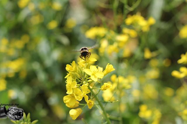 Duas fotografias únicas com o trabalho de uma pequena abelha na colheita do pólen das flores.