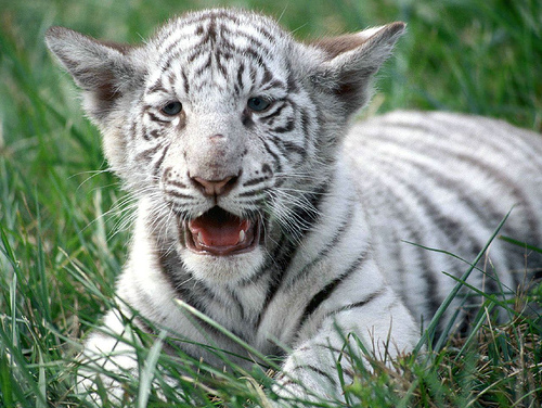 HD Animals: baby white tigers