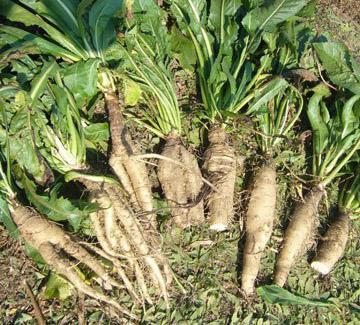 Chichory root