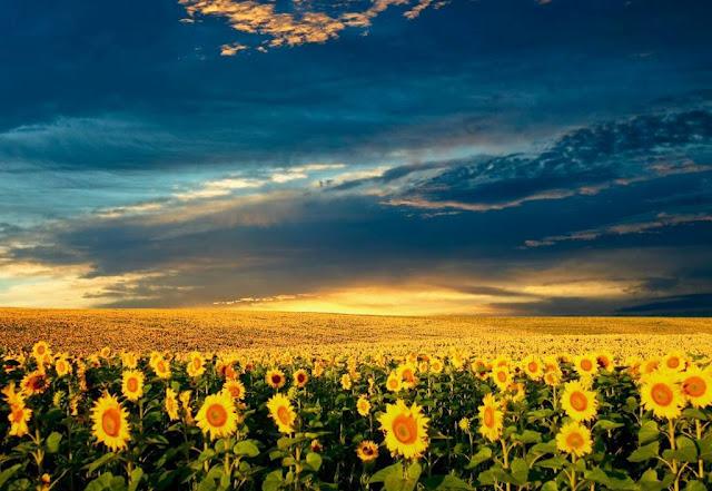 beautiful sun flowers