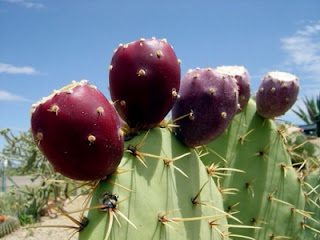Mexican used nopal cactus in health care