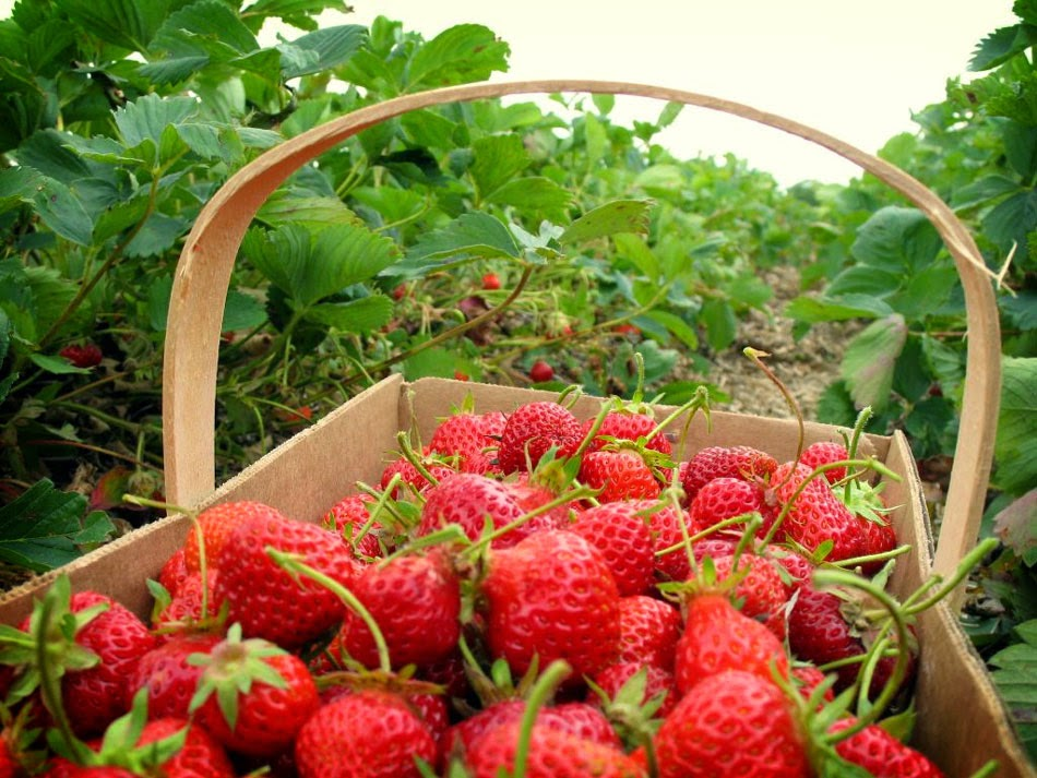 Kebun Strawberry Di Ciwidey