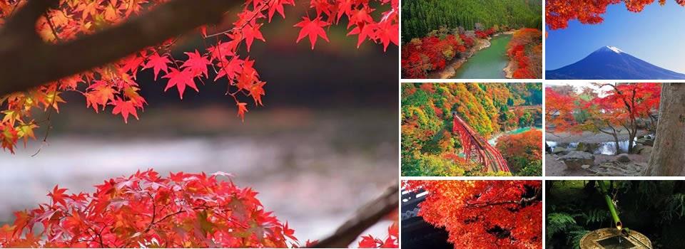 Arce rojo consejos de cultivo - Arce japones cuidados ...