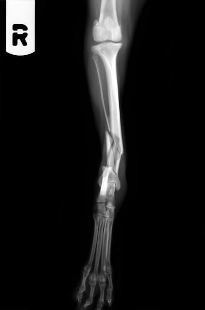 fractura de tibia en canino