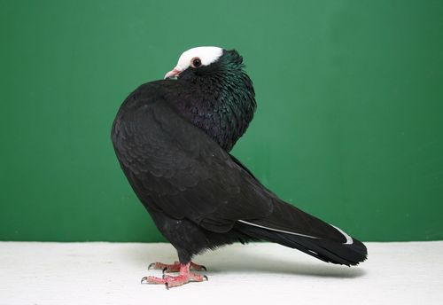 Pigeon pictures and pigeon art for Waimanalo feed