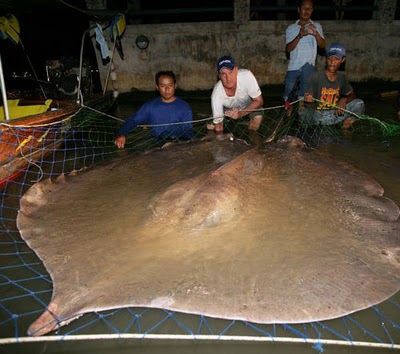 http://4.bp.blogspot.com/-jE2ZUWwkDsY/UK1A5Rr5FxI/AAAAAAAANMI/vOJmLTr4BTw/s1600/STINGRAY+GIANT+FRESHWATER+Himantura+chaophraya+thailand+asia+laos+world+record+biggest+fish+in+the+world+ever+caught+big+huge+fishes+records+largest++river+monster+fishing+++giant+size+images.jpg