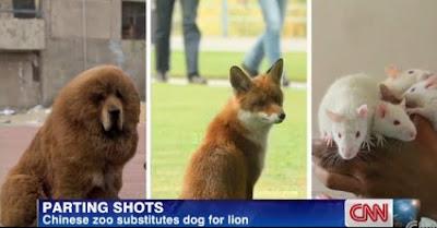 Cão faz de Leão num Jardim Zoológico na China