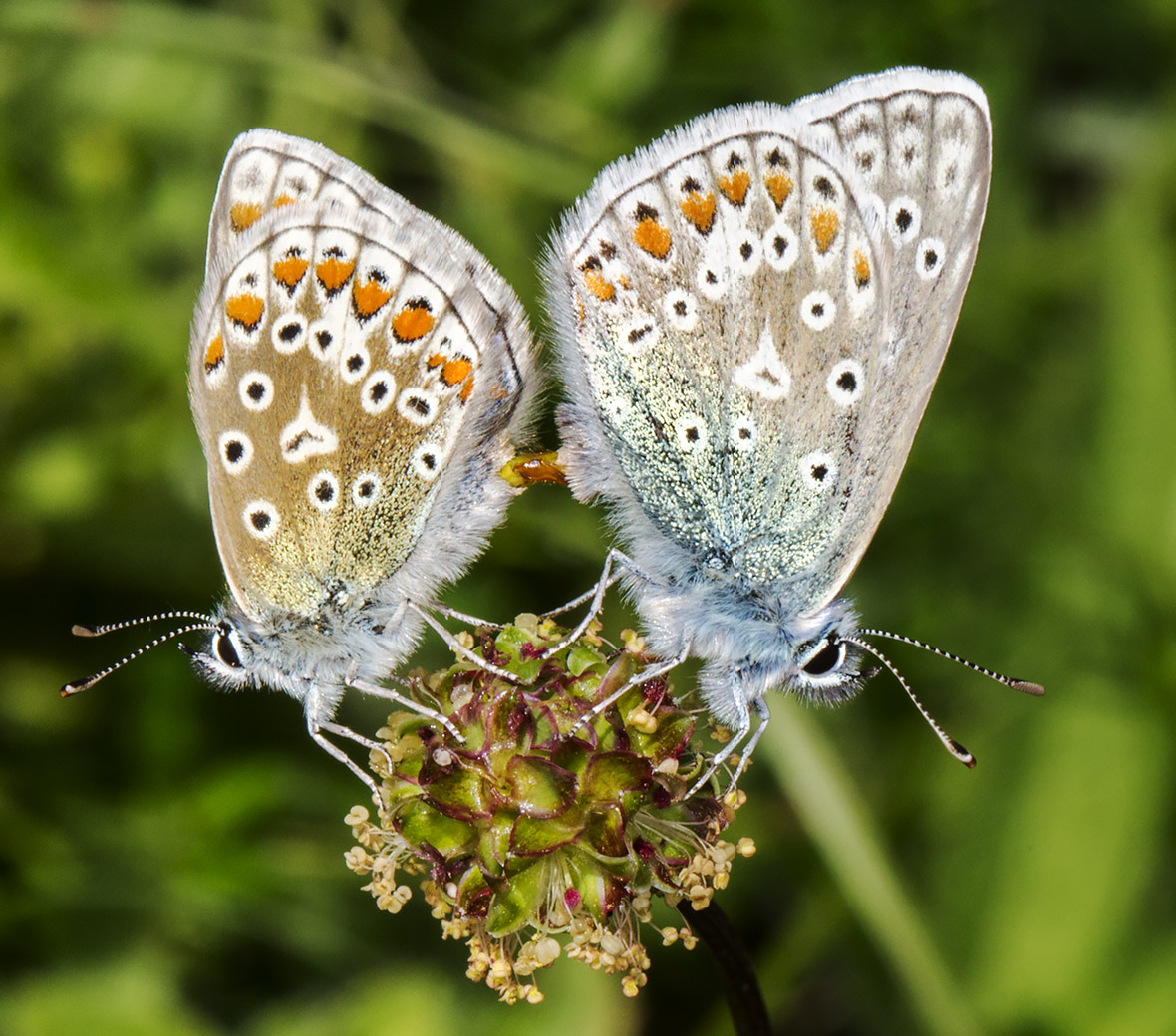 Common Blue pair mating.  Polyommatus icarus.  Queendown Warren with the Orpington Field Club, 24 May 2014.