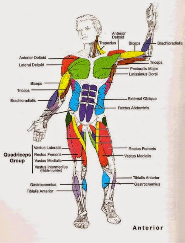 Human Muscles Diagram For Kids
