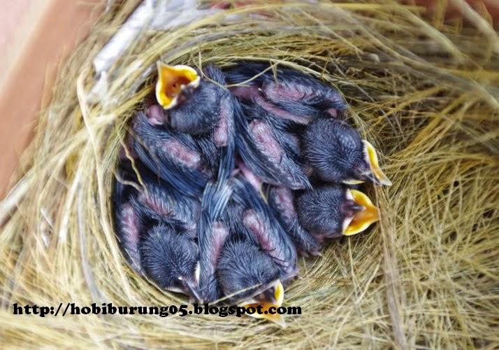Cara Beternak Burung Kacer