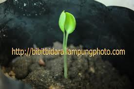 bibit pohon daun bidara