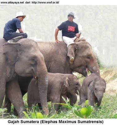 gajah sumatera elephas maximus sumatrensis tesso nilo
