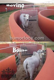 imagens de vacas