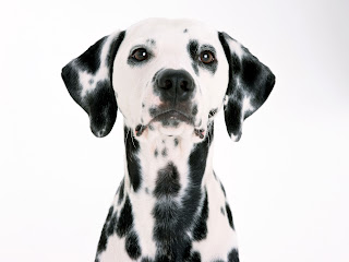 dalmatian puppy puppies breeds dog hound canine pooch canis bow-wow despicable fellow qen txakurra gos pas hond koer aso koira kutya hundur madra pets huisdieren animaux de compagnie Haustiere de companie husdjur Evcil Hayvan anifeiliaid anwes domace zvali augintiniai alagang hayop domaci zvirata kucni ljubimci animals domestics maskotak wallpaper