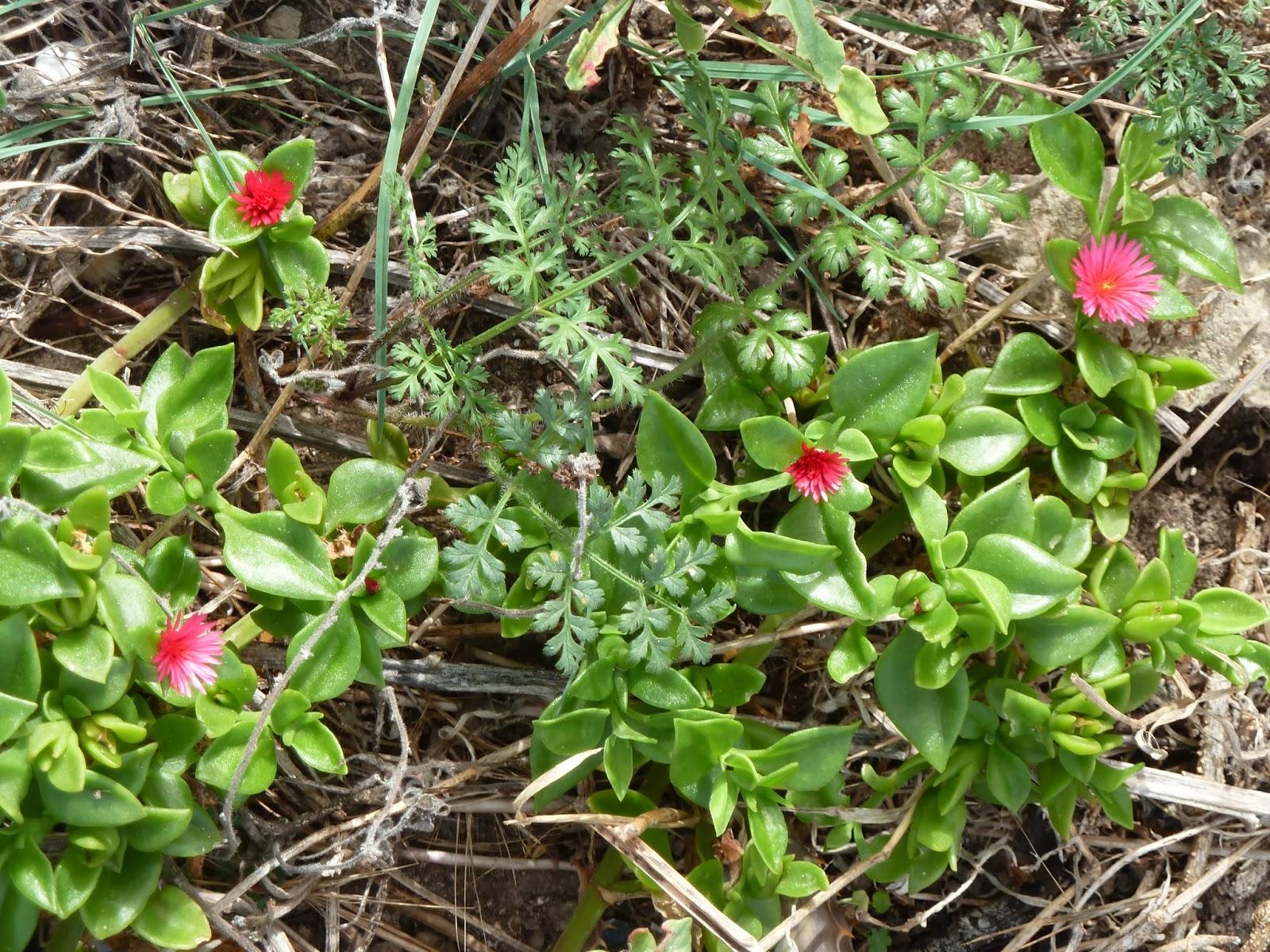 La loc flores xxxii viaje a menorca x costa norte 27 for Plantas de interior lengua de gato
