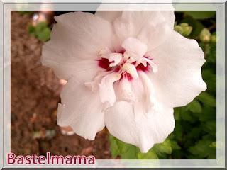 Hibiskus, Blüten im August
